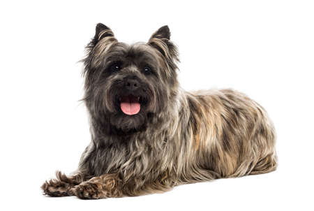 cairn: Side view of a Cairn Terrier panting, looking at the camera, isolated on white Stock Photo