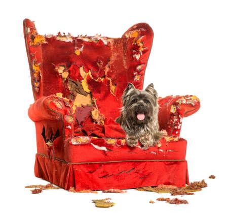 destroyed: Cairn Terrier keuchend, liegend auf einer zerst�rten Sessel, isoliert auf wei� Lizenzfreie Bilder