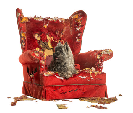 Cairn Terrier panting, lying on a destroyed armchair, isolated on white Stock Photo