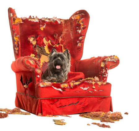 destroying: Cairn Terrier panting, lying on a destroyed armchair, isolated on white Stock Photo