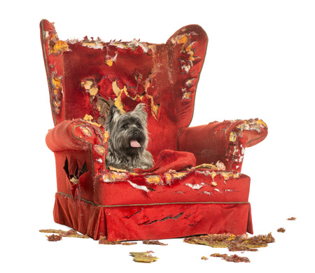 vandalize: Cairn Terrier panting, lying on a destroyed armchair, isolated on white Stock Photo