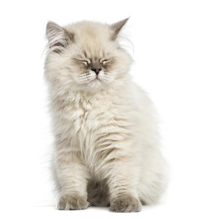 intimidated: British Longhair kitten, sitting, eyes closed, isolated on white