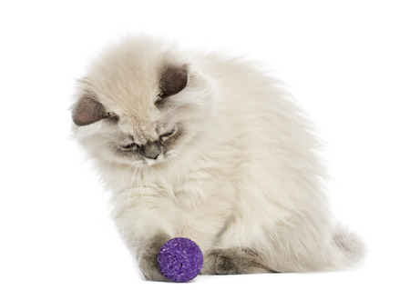 British Longhair kitten playing with a ball, 5 months old, isolated on white photo