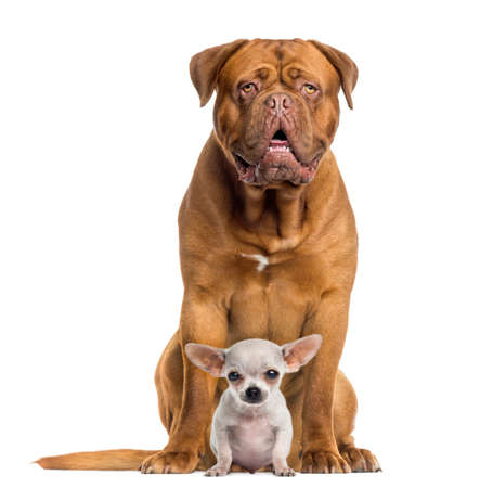 big and small: Dogue de Bordeaux and baby Chihuahua sitting, facing, isolated on white