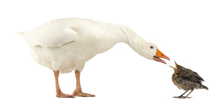 dissimilarity: Side view of a Domestic goose and a Common Blackbird facing each other, communicating, isolated on white