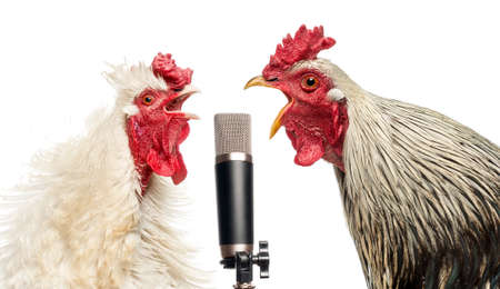 Two roosters singing at a microphone, isolated on white Stock Photo