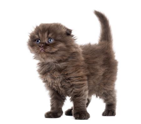looking upwards: Highland fold kitten standing, looking upwards, isolated on white Stock Photo