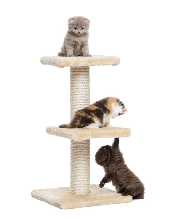 Three Highland fold or straight kittens playing on a cat tree, isolated on white photo