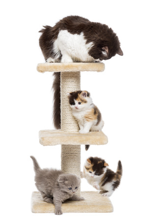 Group of cats playing on a cat tree, isolated on white photo