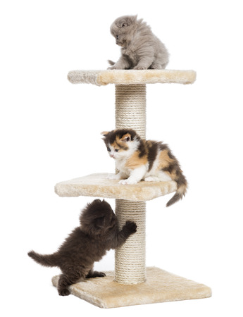 cat playing: Highland fold or straight kittens playing on a cat tree, isolated on white Stock Photo