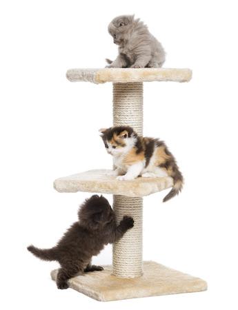 gato jugando: Highland gatitos de pliegue o rectas que juegan en un árbol del gato, aislado en blanco