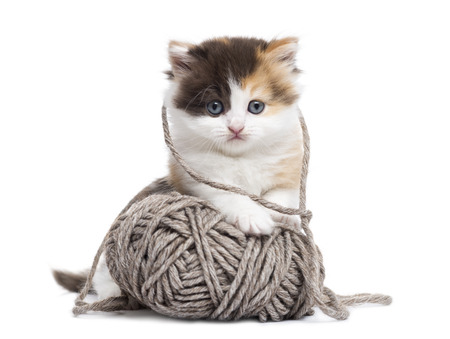 Front view of a Highland straight kitten playing with a wool ball, isolated on white photo