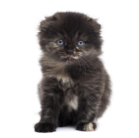 Front view of a Highland fold kitten looking at the camera, isolated on white photo