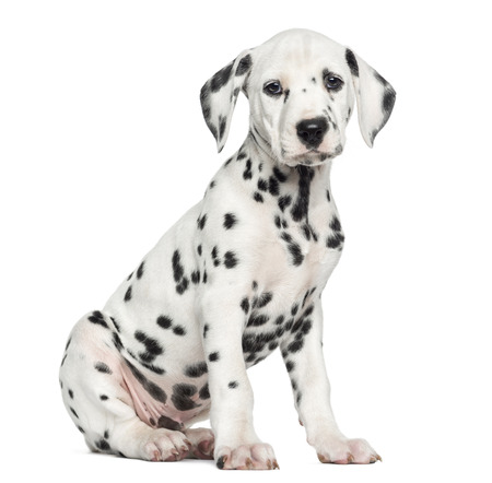 on a white background: Side view of a Dalmatian puppy sitting, looking at the camera, isolated on white