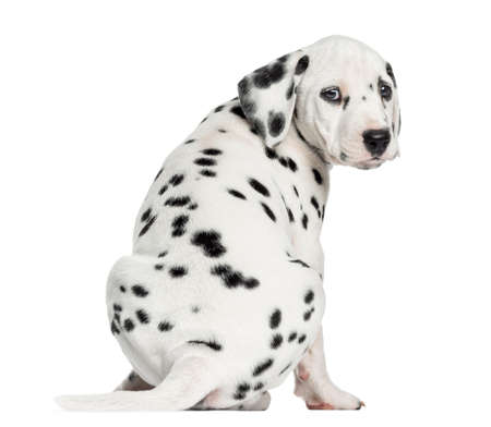Dalmatian: Rear view of a Dalmatian puppy sitting, looking at the camera isolated on white