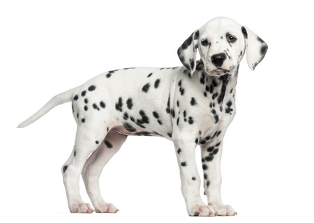 Dalmatian: Side view of a Dalmatian puppy standing, looking away, isolated on white