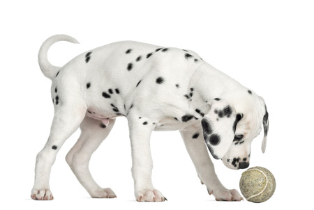 Side view of a Dalmatian puppy sniffing a tennis ball, isolated on white photo