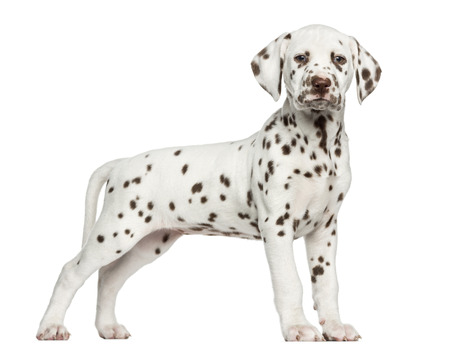 Dalmatian: Side view of a Dalmatian puppy standing, looking at the camera, isolated on white