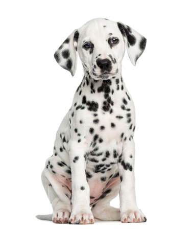 Dalmatian: Front view of a Dalmatian puppy sitting, facing, isolated on white