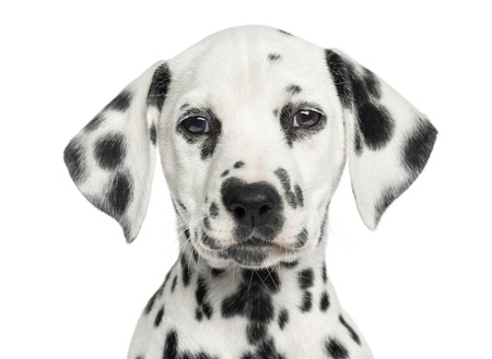 Dalmatian: Close-up of a Dalmatian puppy facing, looking at the camera, isolated on white Stock Photo