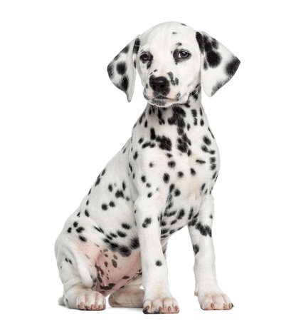 Dalmatian puppy sitting, isolated on white