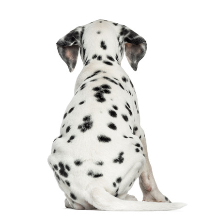 Dalmatian: Rear view of a Dalmatian puppy, sitting, isolated on white Stock Photo