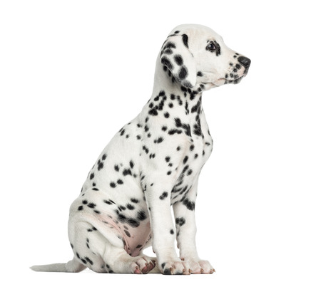 Dalmatian: Side view of a Dalmatian puppy sitting, looking away, isolated on white Stock Photo