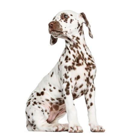 dalmatier: Zijaanzicht van een Dalmatische puppy zitten, op zoek naar achteren, geïsoleerd op wit Stockfoto