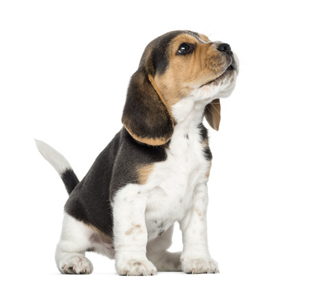 beagle: Beagle puppy howling, looking up, isolated on white