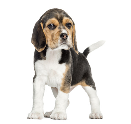 Front view of a Beagle puppy standing, looking at the camera, isolated on white photo