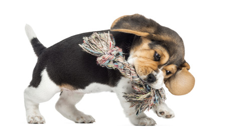 Side view of a Beagle puppy playing with a Rope toy, isolated on white photo