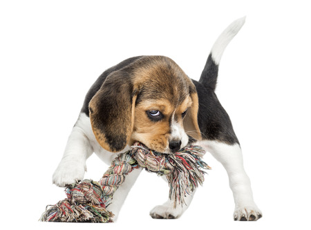 Front view of a Beagle puppy biting a rope toy, isolated on white photo