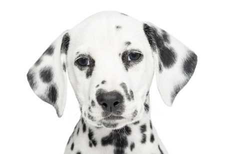 Dalmatian: Close-up of a Dalmatian puppy, looking at the camera, isolated on white