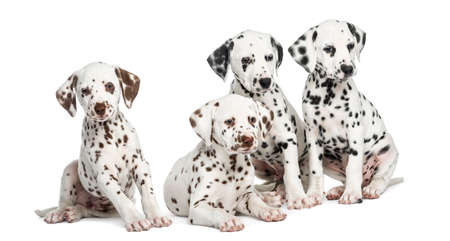 Group of Dalmatian puppies sitting, isolated on white Stock Photo