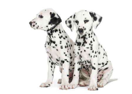 next to each other: Two Dalmatian puppies, sitting next to each other, isolated on white