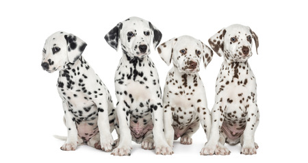 Group of Dalmatian puppies sitting, isolated on white photo