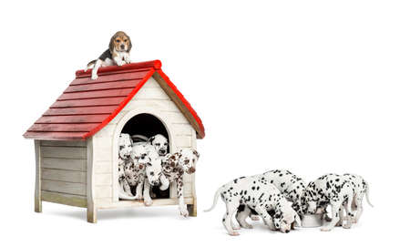 kennel: Large group of Dalmatian puppies playing and eating around a kennel, isolated on white