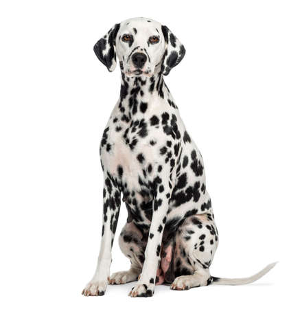 Dalmatian: Dalmatian sitting, looking at the camera, isolated on white