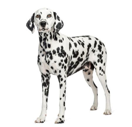 Dalmatian: Dalmatian standing, isolated on white Stock Photo