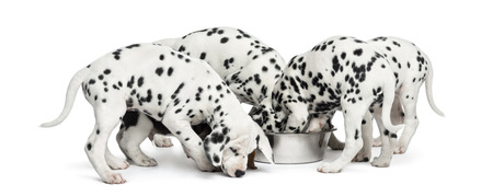 Dalmatian: Group of Dalmatian puppies eating all together, isolated on white