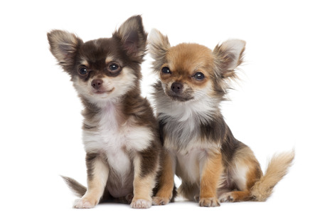 next to each other: Two Chihuahuas next to each other, isolated on white