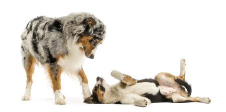 australian shepherd: Border collie and Australian Shepherd playing together, isolated on white