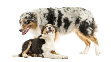 submissiveness: Border collie and Australian Shepherd playing together, isolated on white