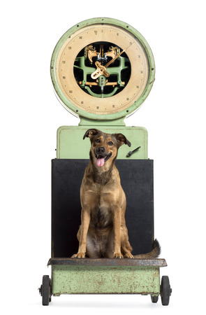 crossbreed: Front view of a crossbreed dog sitting on a weighing scale, isolated on white