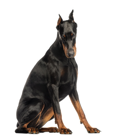 doberman: Doberman Pinscher sitting, looking down, isolated on white