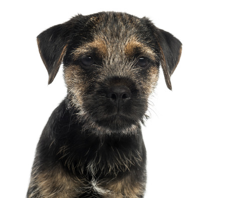 Close-up of a Border Terrier puppy, looking at the camera, isolated on white photo