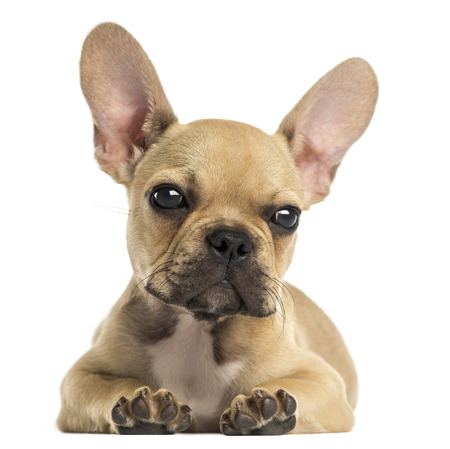bulldog puppy: French Bulldog puppy lying down, looking at the camera, isolated on white Stock Photo