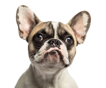 french bulldog: Close-up of a French Bulldog, isolated on white