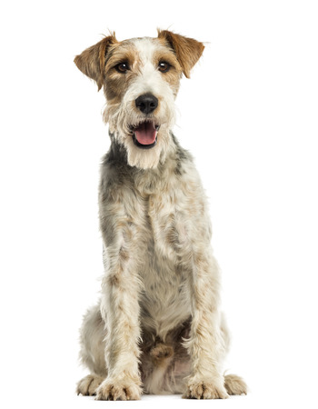 panting: Close-up of a Fox terrier sitting, facing, panting, isolated on white