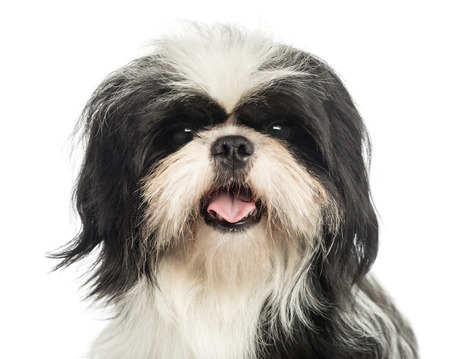 Close-up of a Shi tzu panting, looking at the camera, isolated on white photo